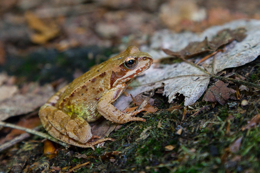 größter frosch